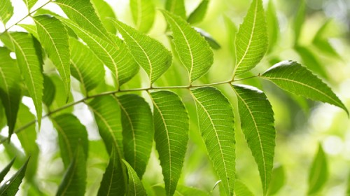 Unearthing the Beauty Benefits of Neem